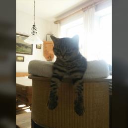 süße britisch kurzhaar Katze im Wohnzimmer Profilbild