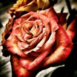 schöne rot rosa Rose
